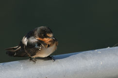 Barn Swallow. Immature, juvenile on metal post Royalty Free Stock Photos