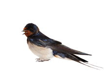 Barn Swallow isolated on white. Barn Swallow, Hirundo rustica isolated on white background Stock Photography