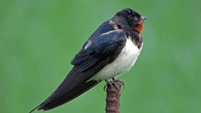 Barn swallow in Japan Royalty Free Stock Photo