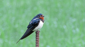Barn swallow in Japan Stock Images