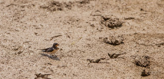 Barn Swallow with mud Royalty Free Stock Images