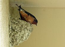 Barn swallow in mud nest under eaves stock image