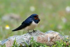 The barn swallow in natural habitat (hirundo rustica) Stock Images