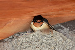 Barn swallow at nest Stock Photo