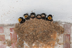Barn swallow nest with chicks. Barn swallow (Hirudo rustica) nest with six hungry nestlings Stock Photos