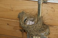 Barn Swallow Nest. A barn swallow nest on a electric outlet in a barn Stock Photo