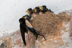 Barn swallow nest feeding. A barn swallow (Hirundo rustica) feeding five chicks at nest Stock Image