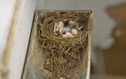Barn Swallow nest. Hirundo rustica or Barn Swallow eggs made on a rain gutter. Traditional whitewashed house in Badajoz, Spain Royalty Free Stock Photos