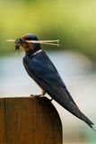 Barn swallow with nesting material. Barn swallow Hirundo rustica with nesting material Stock Photography