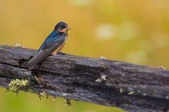 Barn Swallow on Old Wooden Fence Royalty Free Stock Image