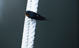 Barn Swallow with open beak Stock Photos