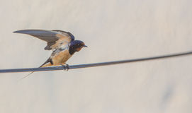 Barn Swallow with open wings Stock Image