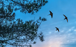 Barn swallow over sunset background Stock Image