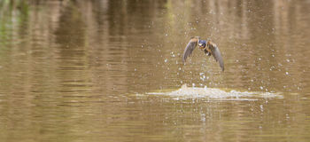 Barn Swallow over the water. A Barn Swallow (Hirundo rustica) hits the surface of the water as she manages to drink during the flight Royalty Free Stock Images