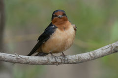 Barn Swallow. Perched on a branch Stock Photography