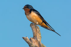 Barn Swallow Stock Photos