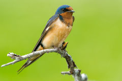 Barn Swallow Royalty Free Stock Image