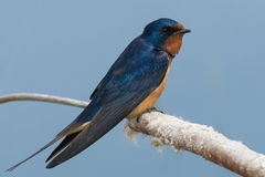 Barn Swallow. Perched on a dead cattail Royalty Free Stock Image