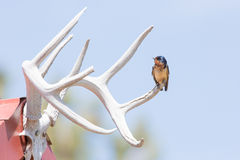 Barn Swallow perched on deer antlers Stock Images
