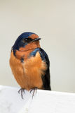 Barn Swallow Perched on a Fence Royalty Free Stock Photo