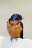 Barn Swallow Perched on a Fence Watching Stock Photo