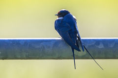 Barn swallow perched on metal pipe looking backward. Barn swallow (Hirundo rustica) perched on metal pipe of gate and looking backward, with bright green Stock Photos