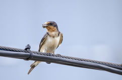 Barn Swallow perched with mud in beak for nest. Barn Swallow, Hirundo rustica, perched on telephone wire with mud in beak to build a nest. North American Swallow Royalty Free Stock Images