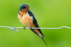 Barn Swallow. Perched on a page wire fence Stock Photos