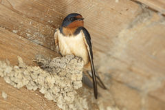 Barn Swallow Perched on Partially Built Mud Nest Royalty Free Stock Photo