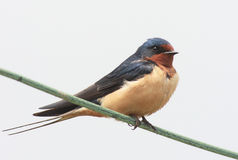 Barn Swallow Perched On A Wire. Barn Swallow (Hirundo rustica) perched on a wire Stock Image