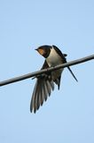 Barn Swallow perched on wire, stretching its wing Royalty Free Stock Images