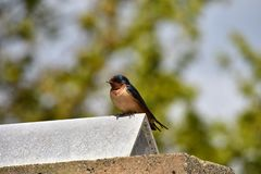 Barn swallow is perching on the fence. stock image
