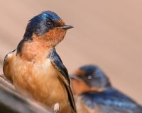 Barn swallow portrait taken at the Wood Lake Nature Center in Minnesota stock image