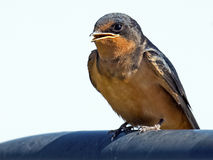 Barn Swallow resting. Stock Photos