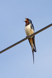 Barn Swallow Signing Stock Images