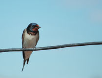 Barn swallow sit on wire Royalty Free Stock Images