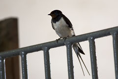 Barn swallow sits on iron fence Royalty Free Stock Photos