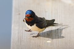 Barn swallow sits on a railing Royalty Free Stock Image