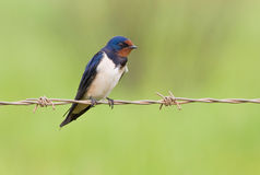 Barn swallow sitting on a barbwire Royalty Free Stock Images