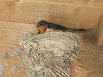 Barn swallow Sitting on Mud Nest Royalty Free Stock Photography