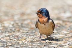 Barn Swallow Stock Photography