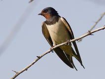 Barn Swallow sitting on a tree. Barn Swallow sitting on a tree branch Stock Photography