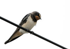 Barn swallow sitting on a wire. The barn swallow is small bird with blue upperparts and long deeply forked tail Royalty Free Stock Images