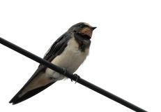 Barn swallow. The barn swallow is small bird with blue upperparts and long deeply forked tail Stock Image