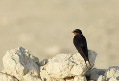 Barn swallow. Is small bird with blue upperparts and long deeply forked tail Royalty Free Stock Image