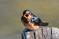 Barn Swallow With Something To Say Royalty Free Stock Photo