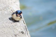 Barn swallow. A barn swallow stands on rock. Scientific name: Hirundo rustica Stock Photo