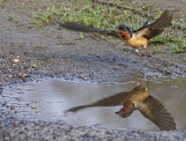 Barn Swallow Take-Off Reflection Royalty Free Stock Image