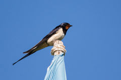 Barn swallow. On top of a flagpole Royalty Free Stock Photography