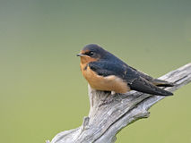 Barn Swallow on Tree. Barn Swallow perched on a dead Tree Royalty Free Stock Photos
